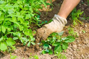 Preventing weed infestations